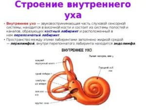 В состав внутреннего уха входят