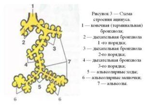 Схема строения ацинуса