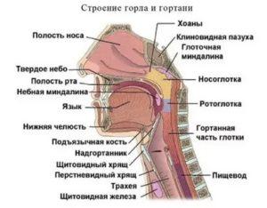 Из чего состоит носоглотка