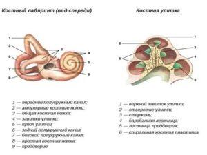 Костный лабиринт внутреннего уха