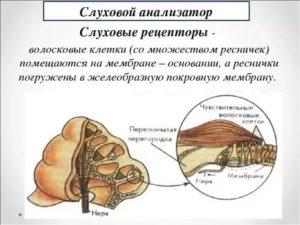 Рецепторы слухового анализатора это