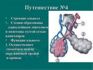 Функции альвеол