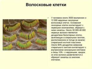 Волосковые клетки внутреннего уха это