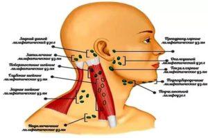 Лимфоузлы на челюсти расположение