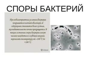 При какой температуре погибают споры бактерий