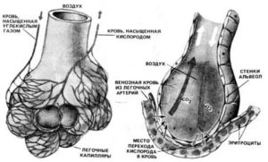 Строение альвеол