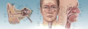 Как связаны ухо горло нос