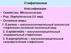 Золотистый стафилококк латинское название