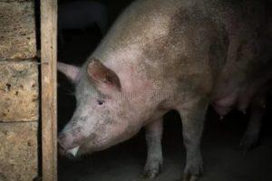 Почему у свиньи пена изо рта