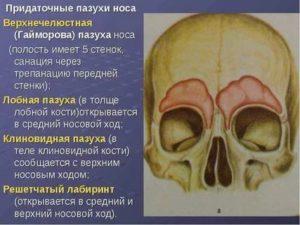 Воздухоносная гайморова пазуха находится в кости