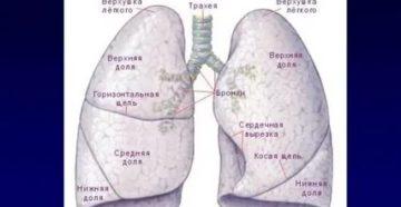 Строение лёгких человека картинки