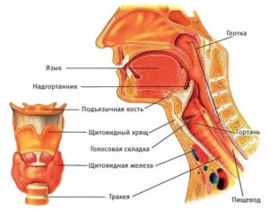 Анатомия лор органов атлас