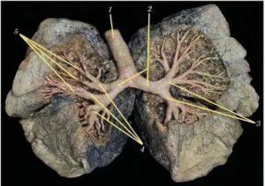 Бронхи фото анатомия