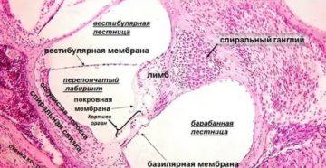Орган слуха гистология