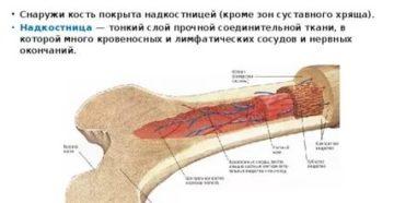 Нервные окончания в костях
