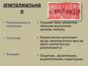 Слизистые оболочки внутренних органов
