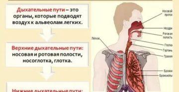 К нижним дыхательным путям относятся