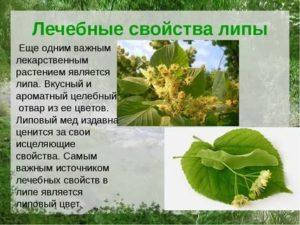Листья липы полезные свойства и противопоказания