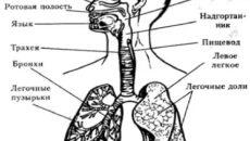 Строение дыхательной системы человека схема